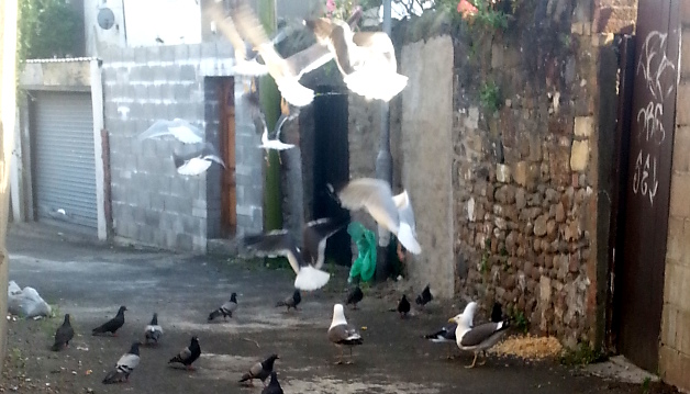 Gulls swooping - the pigeons have beaten them to it